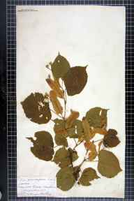Tilia platyphyllos herbarium specimen from Hereford, VC36 Herefordshire in 1873 by Rev. Augustin Ley.