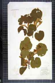 Tilia platyphyllos herbarium specimen from Richmond, VC65 North-west Yorkshire in 1838 by Mr James Ward.