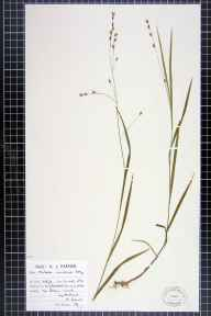 Melica uniflora herbarium specimen from Upholland, VC59 South Lancashire in 1946 by Mr Arthur John Farmer.