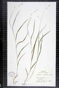 Melica uniflora herbarium specimen from Chailey, VC14 East Sussex in 1892.