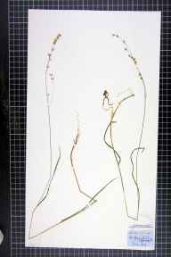 Melica uniflora herbarium specimen from Cliff Rigg, VC62 North-east Yorkshire in 1852 by William A Mudd.