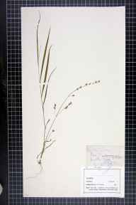 Melica uniflora herbarium specimen from Little Ormes Head, VC49 Caernarvonshire in 1869 by Mr John Harbord Lewis.