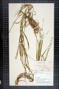Melica uniflora herbarium specimen from Malling, VC15 East Kent in 1882 by Dr Eyre Champion de Crespigny.