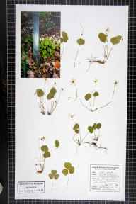 Oxalis acetosella herbarium specimen from Haigh, VC59 South Lancashire in 1996 by Paul Derbyshire.
