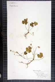 Oxalis acetosella herbarium specimen from Ashley, VC58 Cheshire in 1862 by Mr Charles Bailey.
