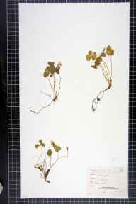 Oxalis acetosella herbarium specimen from Croydon, VC17 Surrey in 1882 by Mr Arthur Bennett.