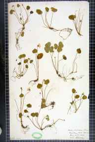 Oxalis acetosella herbarium specimen from Roundhay Park, Leeds, VC64 Mid-west Yorkshire in 1906 by H L Craven.