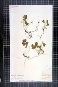 Oxalis acetosella herbarium specimen from Marlborough, VC7 North Wiltshire in 1885 by Rev. Thomas Arthur Preston.
