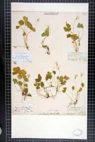 Oxalis acetosella herbarium specimen from Rubislaw, VC92 South Aberdeenshire in 1840 by George Dickie.