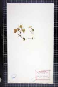 Oxalis acetosella herbarium specimen from Saint Fagans, VC41 Glamorganshire in 1915 by Miss T Willan.