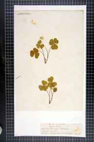 Oxalis acetosella herbarium specimen from Borough Hill, VC32 Northamptonshire in 1842.