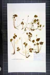 Oxalis acetosella herbarium specimen from Aymestrey, VC36 Herefordshire in 1884 by Rose Fryer.