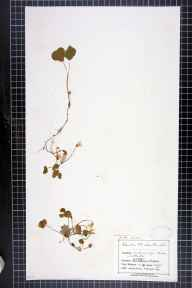 Oxalis acetosella herbarium specimen from Stanton, VC39 Staffordshire in 1905 by Mr Charles Bailey.