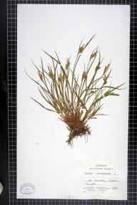 Carex pallescens herbarium specimen from Chailey, VC14 East Sussex in 1895.