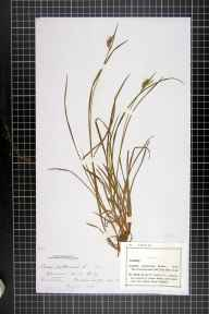 Carex pallescens herbarium specimen from Buddon Wood, Quorn, VC55 Leicestershire in 1878 by Mr Frederick Thompson Mott.