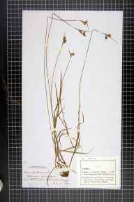 Carex pallescens herbarium specimen from Nailstone Wiggs, VC55 Leicestershire in 1882 by Mr Frederick Thompson Mott.