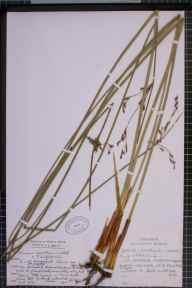 Juncus balticus x inflexus herbarium specimen from Ainsdale, VC59 South Lancashire in 1970 by Clive Anthony Stace.