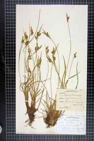 Carex pallescens herbarium specimen from Malvern Link, VC37 Worcestershire in 1879 by A D Melvin.