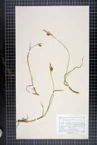 Carex pallescens herbarium specimen from Devil's Pulpit, VC34 West Gloucestershire in 1875 by Mr Charles Bailey.