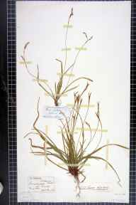 Carex digitata herbarium specimen from Bristol, VC6,VC34 in 1842 by Dr George Henry Kendrick Thwaites.
