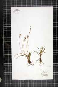 Carex digitata herbarium specimen from Leigh Woods, VC6 North Somerset in 1876 by Christopher Edmund Broome.