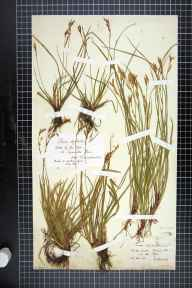 Carex digitata herbarium specimen from Doward, VC36 Herefordshire in 1874 by Mr Henry Boswell.