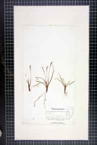 Carex digitata herbarium specimen from Leigh Woods, VC6 North Somerset in 1844 by Henry Oxley Stephens.