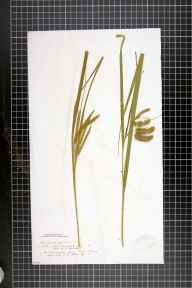 Carex pseudocyperus herbarium specimen from Forres, VC95 Moray in 1841 by Mr William Alexander Stables.
