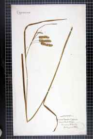 Carex pseudocyperus herbarium specimen from Mobberley, VC58 Cheshire in 1862 by Mr Charles Bailey.