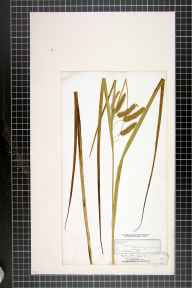 Carex pseudocyperus herbarium specimen from Bucklow Hill, VC58 Cheshire in 1843 by Dr John Bland Wood.