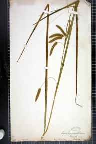 Carex pseudocyperus herbarium specimen from Manchester, VC59 South Lancashire in 1840 by Dr John Bland Wood.