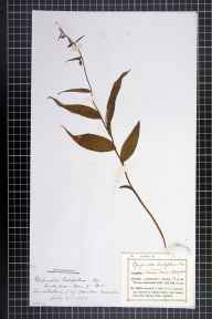 Epipactis helleborine herbarium specimen from Owston Wood, VC55 Leicestershire in 1883 by Mr Frederick Thompson Mott.