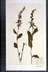 Epipactis helleborine herbarium specimen from Aske Wood, VC65 North-west Yorkshire in 1837 by Mr James Ward.