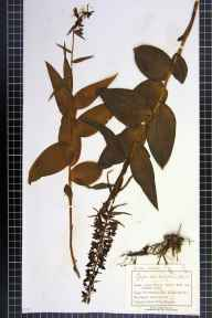 Epipactis helleborine herbarium specimen from Limpley Stoke, VC7 North Wiltshire in 1893 by Mr Charles Bailey.