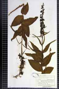 Epipactis helleborine herbarium specimen from Conkwell, VC7 North Wiltshire in 1893 by Mr Charles Bailey.