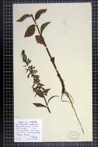 Epipactis phyllanthes herbarium specimen from Freshfield, VC59 South Lancashire in 1946 by Mr Arthur John Farmer.