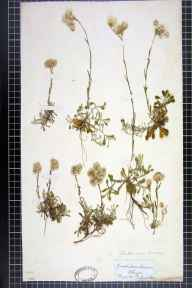 Antennaria dioica herbarium specimen from Todmorden, VC63 South-west Yorkshire.