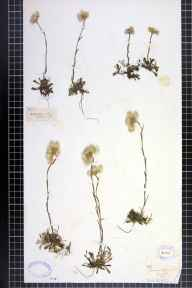 Antennaria dioica herbarium specimen from Oldham (E of),Greenfield, VC63 South-west Yorkshire in 1833.