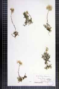 Antennaria dioica herbarium specimen from Connor Downs, VC1 West Cornwall in 1876 by Dr John Ralfs.