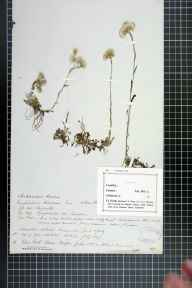 Antennaria dioica herbarium specimen from Glen Arklet, VC86 Stirlingshire in 1849.