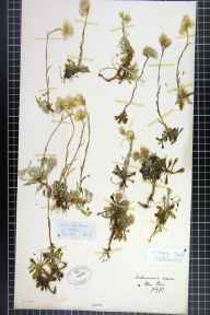 Antennaria dioica herbarium specimen from Glenshee, VC89 East Perthshire in 1867.