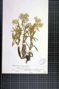 Anaphalis margaritacea herbarium specimen from Cardiff, VC41 Glamorganshire in 1878 by Mr Thomas Rogers.