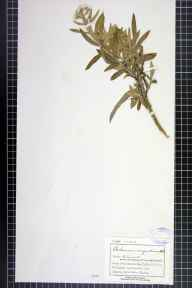 Anaphalis margaritacea herbarium specimen from Grange over Sands, VC69 Westmorland in 1893 by Mr Charles Bailey.