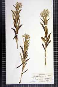 Anaphalis margaritacea herbarium specimen from Skipton, VC64 Mid-west Yorkshire in 1842 by Mr Henry Ibbotson.