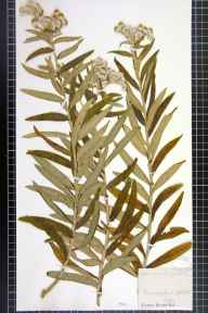 Anaphalis margaritacea herbarium specimen from Pontneddfechan, VC42 Breconshire in 1875 by Prof Thomas Barker.