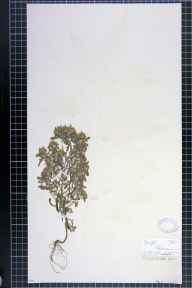 Gnaphalium uliginosum herbarium specimen from Withington, VC59 South Lancashire in 1875 by Prof Thomas Barker.