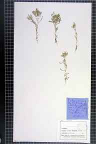 Gnaphalium uliginosum herbarium specimen from Tattenhall, VC58 Cheshire in 1874 by Mr John Harbord Lewis.