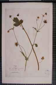 Geum rivale x urbanum = G. x intermedium herbarium specimen collected by Mr Oswald Allen Moore.