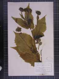 Inula helenium herbarium specimen from Strathpeffer, VC106 East Ross & Cromarty in 1890 by Mr Charles Bailey.