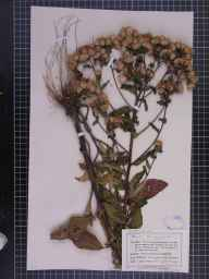 Inula conyzae herbarium specimen from Fairhaven, VC60 West Lancashire in 1902 by Mr Charles Bailey.